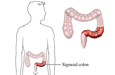 sigmoid colon, Human body